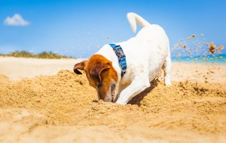jack russell dog digging a hole in the sand at the beach on summer holiday vacation ocean shore behind